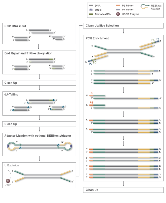 ChIP DNA Library Preparation Workflow for Illumina