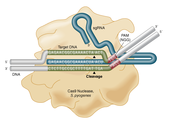 Schematic representation of Cas9 Nuclease, S. pyogenes sequence recognition and DNA cleavage