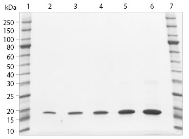 SDS-PAGE analysis of histone H3.3 Human, Recombinant