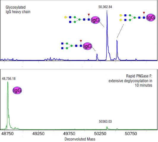 ESI-TOF analysis of an antibody before and after treatment with Rapid PNGase F