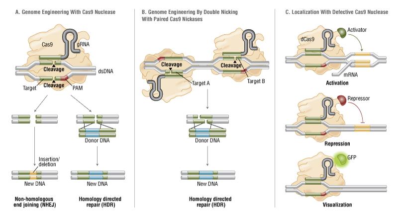 CRISPR/Cas9 & Targeted Genome Editing: New Era in Molecular Biology | NEB