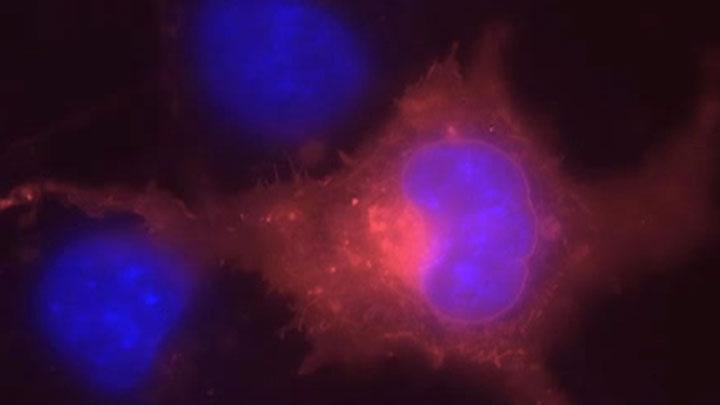 fluorescent_COS7_thumb