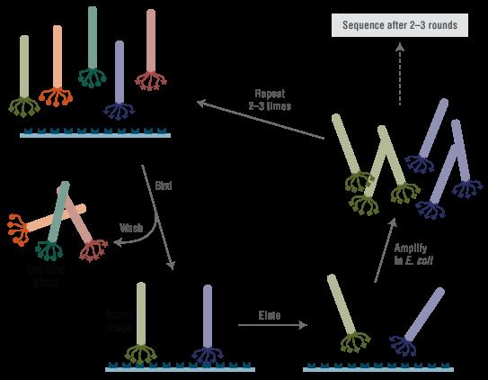 phage panning scheme fig1 manual