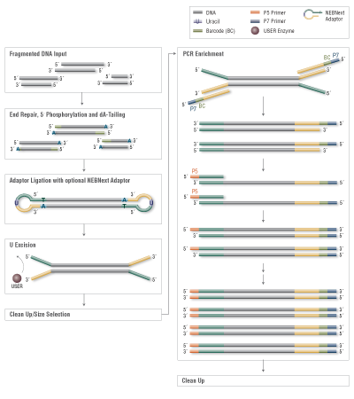 Ultra DNA Library Preparation Workflow for Illumina