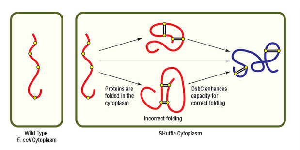 """Expression of protein with multiple disulfide bonds using SHuffle Competent E. coli"""