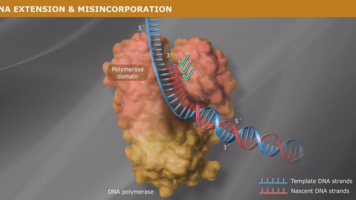 ProofreadingPolymerase_thumb