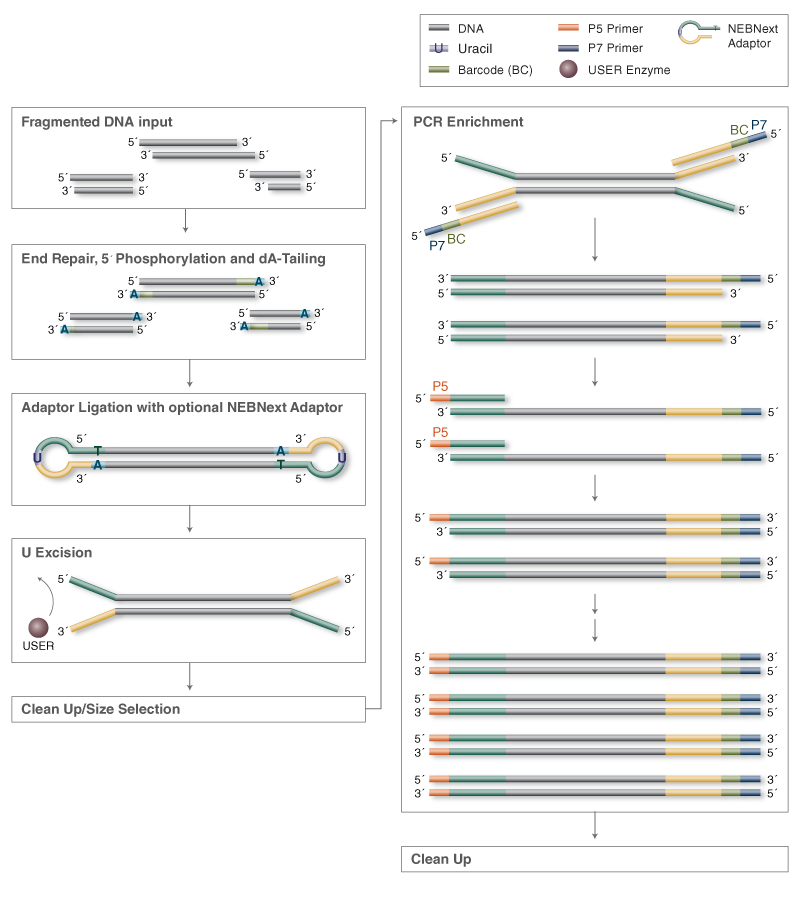 Ultra II DNA Library Prep Workflow for Illumina